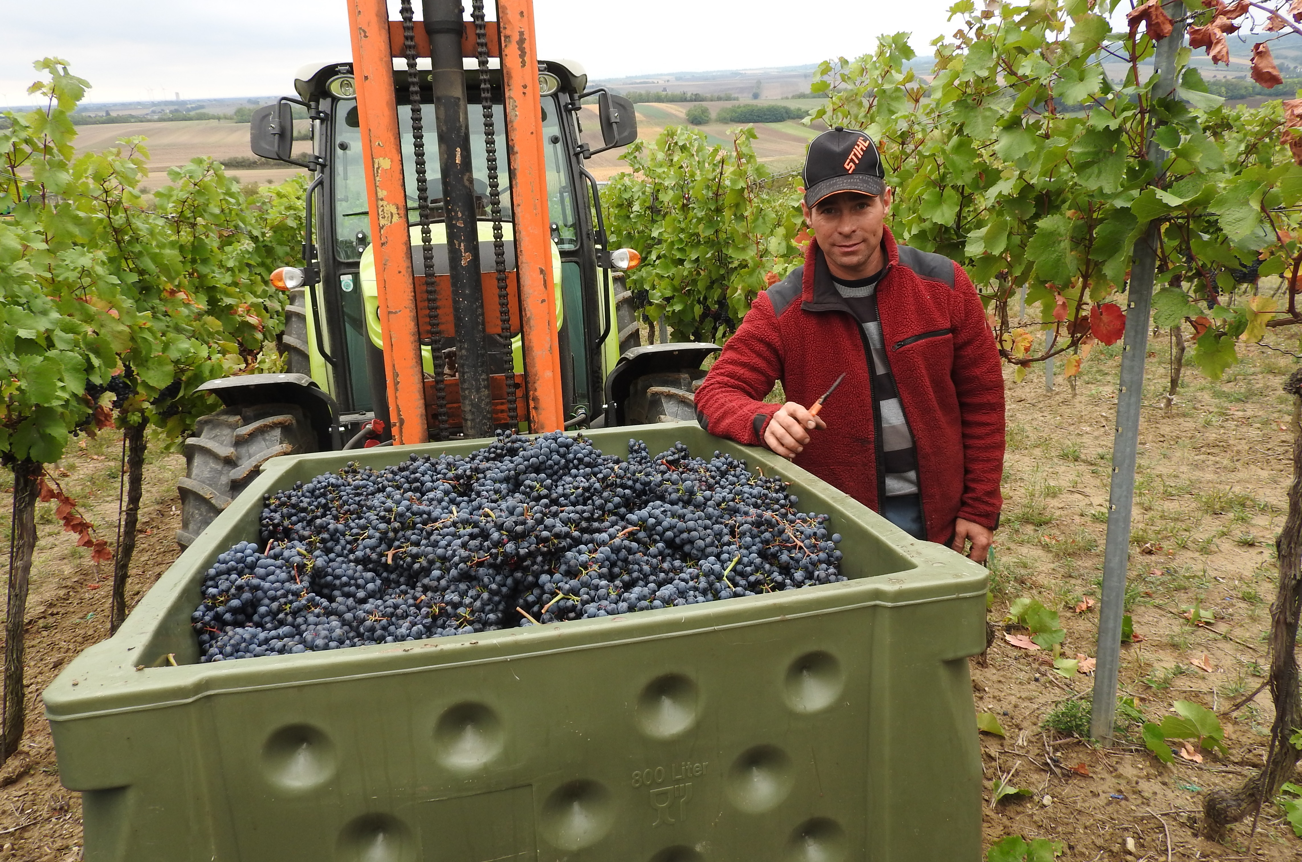 Christian at the grape harvest 2017