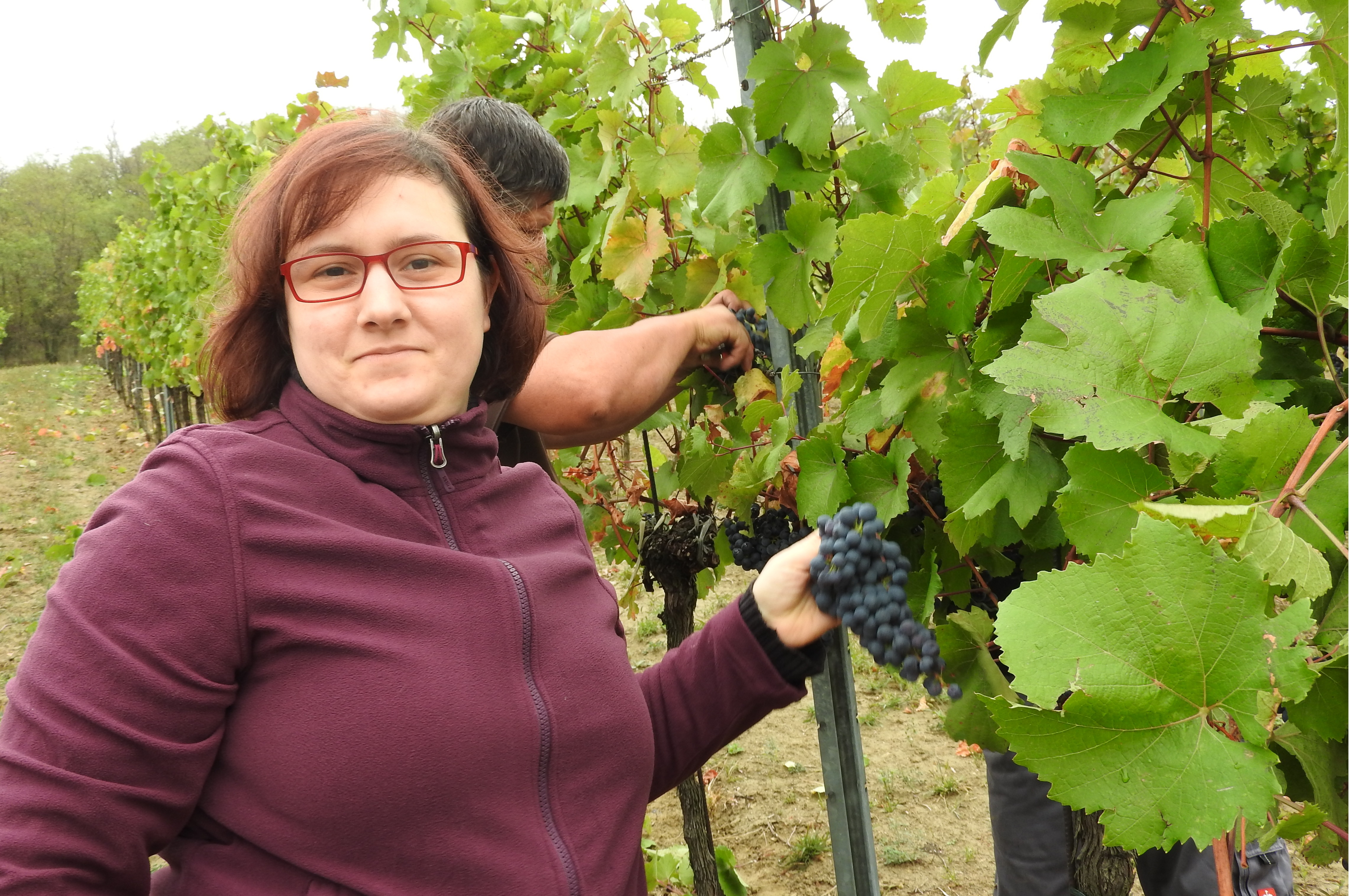 Marlene at the grape harvest 2017